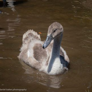 A cygnet swimming